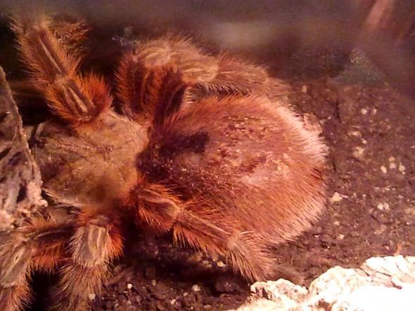 Spinne - (Krankheit, Spinne, Kruste)
