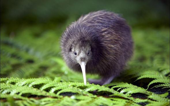 vom Aussterben bedroht heisst Kiwi - (Tiere, Natur, Vortrag)