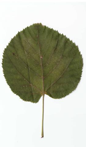 Blatt von unbekannten Baum - (Schule, Biologie, Wissen)
