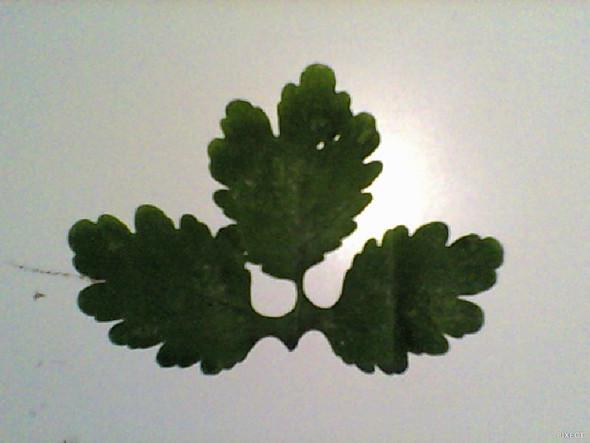 BLATT.jpg - (Baum, Botanik, Blatt)