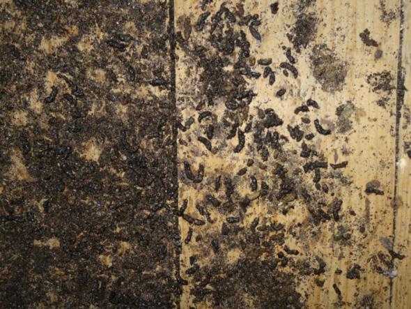 von welchem tier k nnten diese hinterlassenschaften stammen kot dachboden tierart. Black Bedroom Furniture Sets. Home Design Ideas