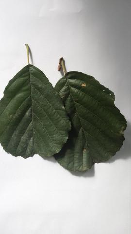 3. - (Natur, Blätter bestimmen)