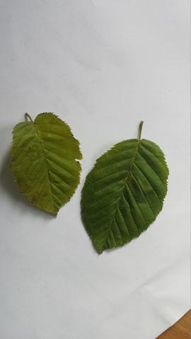 4. - (Natur, Blätter bestimmen)
