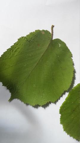 5. - (Natur, Blätter bestimmen)