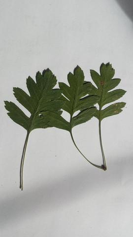 6. - (Natur, Blätter bestimmen)