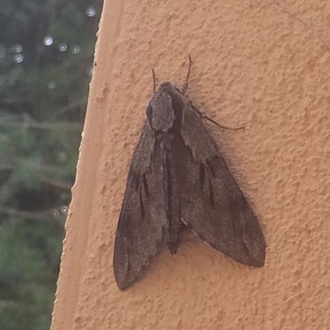Motte XL - (Tiere, Biologie, groß)