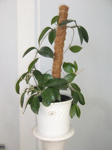 Porzellanblume - (Zimmerpflanzen, Wachsblumen)