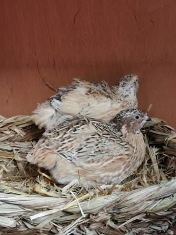 Wachtel Henne oder Hahn?!?