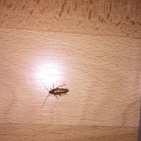 waldschabe oder doch das schlimmere bel wohnung insekten ungeziefer. Black Bedroom Furniture Sets. Home Design Ideas