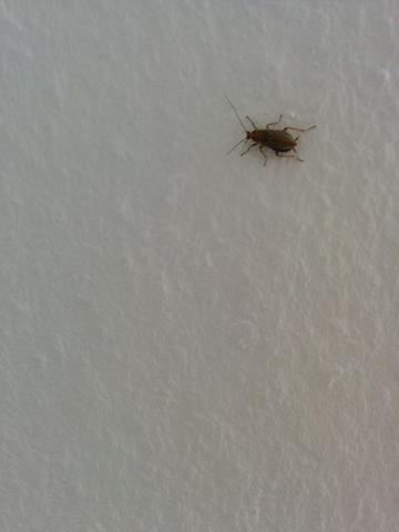 Waldschabe Oder Kuchenschabe Tiere Insekten Ungeziefer