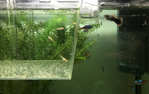 wann kann ich meine guppy babys aus dem auszuchtbecken rausgeben fische aquarium nachwuchs. Black Bedroom Furniture Sets. Home Design Ideas