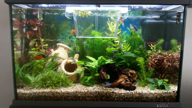 wann kann man baby platys ins aquarium zu den anderen fischen ohne dass die gefressen werden. Black Bedroom Furniture Sets. Home Design Ideas