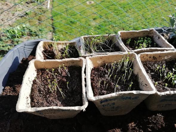 Wann meine Setzlinge im Kräutergarten einpflanzen?