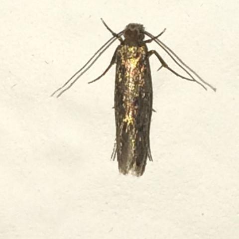 Motte mit Blitzlicht - (Motten, Haushaltschädlinge)