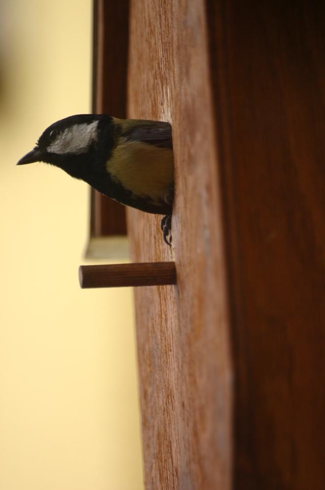 wann verlassen kohlmeisen und ihre brut das nest freizeit tiere v gel. Black Bedroom Furniture Sets. Home Design Ideas