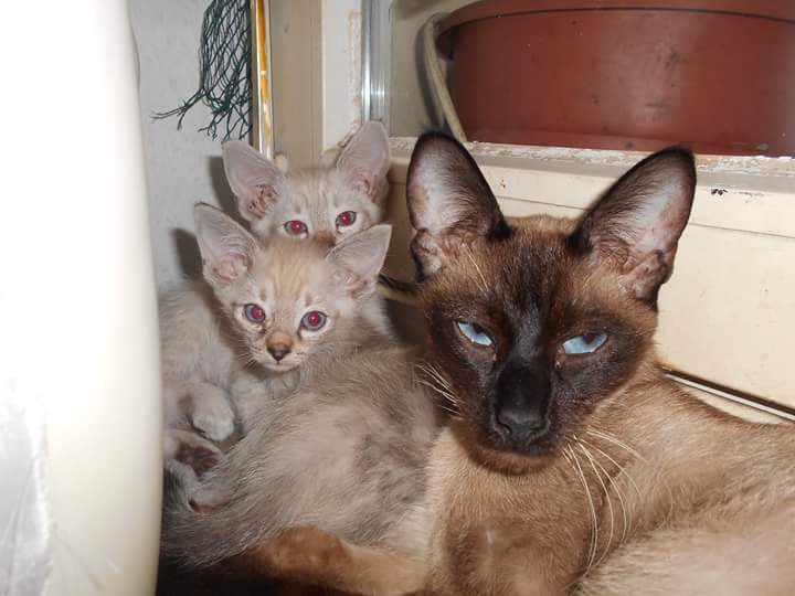 wann verlieren katzen ihre blauen augen tiere. Black Bedroom Furniture Sets. Home Design Ideas