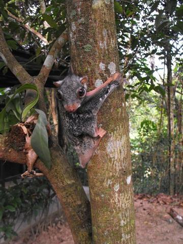 Juveniles Tier/Mammalia (aufgenommen in Südostasien) - (Tiere, Urlaub, Biologie)