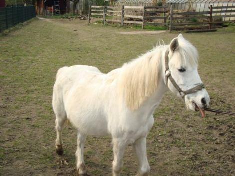 Chico. R.I.P. - (Pony, Rasse, Welsh-pony)