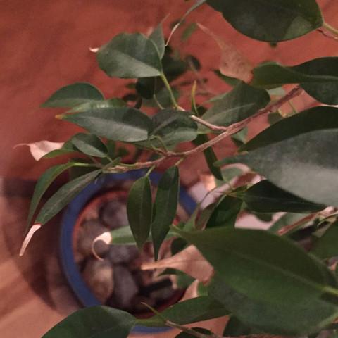 Warum bekommen die Blätter von Zimmerpflanzen braune Spitzen?