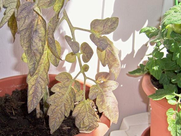 Warum bekommen meine Tomaten gelbe, welke Blätter mit lila Flecke (s. Fotos)?