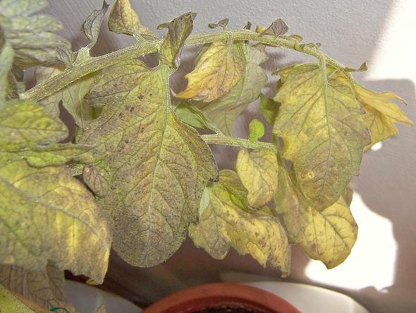 Tomaten Blätter Gelb : warum bekommen meine tomaten gelbe welke bl tter mit lila flecke s fotos garten pflanzen ~ Frokenaadalensverden.com Haus und Dekorationen