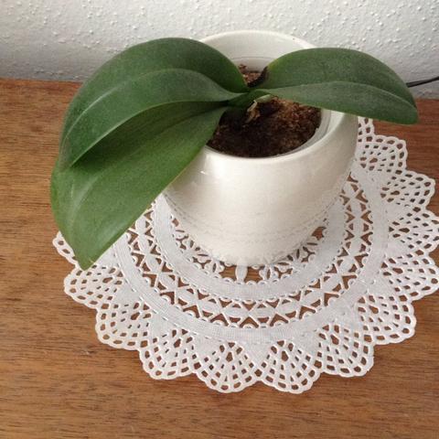 Orchidee  - (Wachstum, Orchideen)
