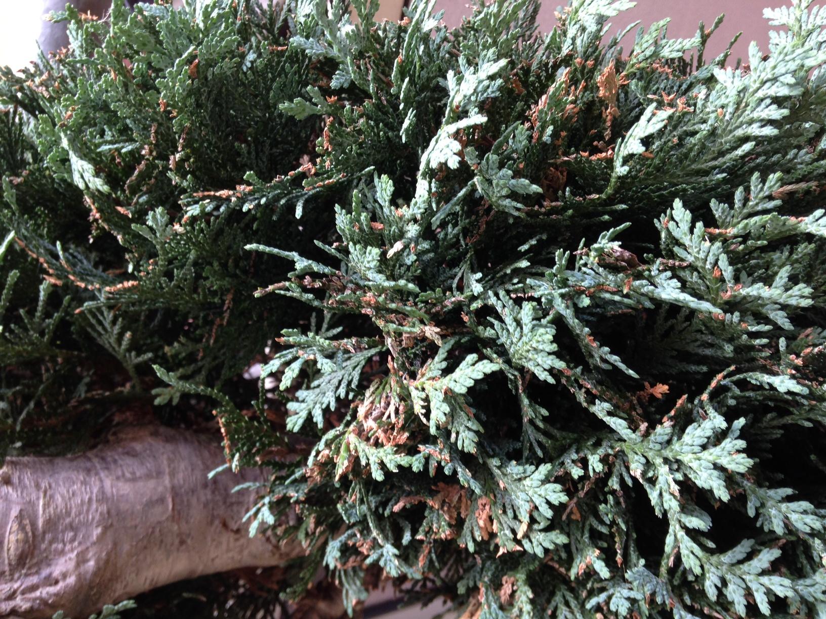 warum bekommt meine zypresse braune spitzen pflanzen pflanzenpflege. Black Bedroom Furniture Sets. Home Design Ideas