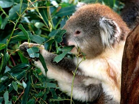 - (Tiere, Ernährung, Koala)