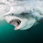 Warum hat kein Zoo der Welt einen weißen Hai?