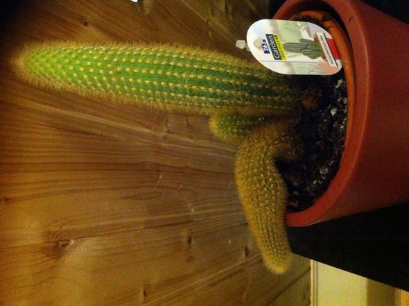 Warum fällt mein Kaktus um?