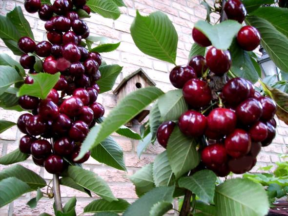 Kirschernte aus dem Vorjahr - (Garten, Faule Kirschernte, Kirschen Krankheit)