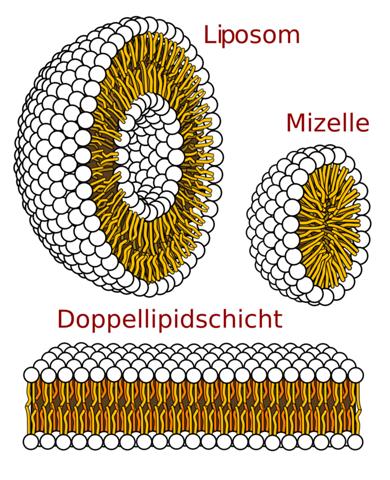 Warum haben Phospholipide im Wasser unterschiedliche Strukturen..?