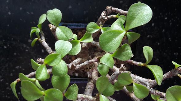 warum hat mein bonsai total wellige bl tter krank pflanzen pflanzenpflege. Black Bedroom Furniture Sets. Home Design Ideas