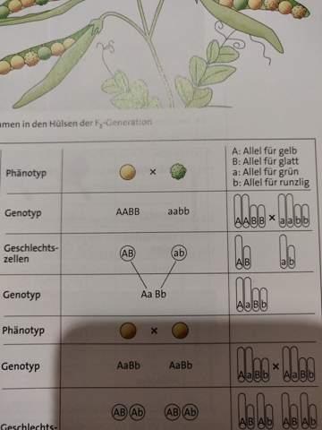 Warum ist der Genotyp AABB und AABB und nicht AB ab?