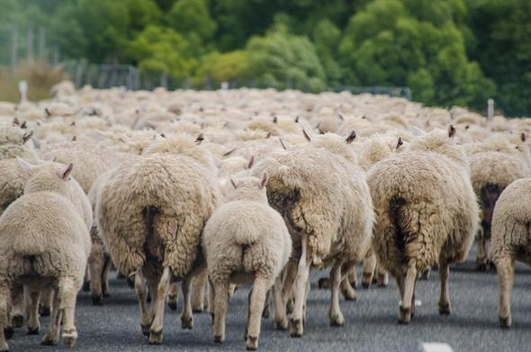 Herde - (Herde, Individuum)