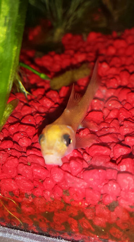 Goldsaugschmerle - (Schmerzen, Fische, Aquarium)