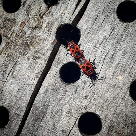 Warum kleben die Käfer so aneinander?