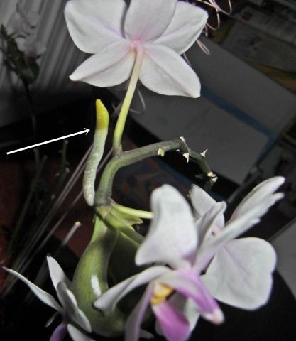 Warum Kriegt Meine Orchidee Blätter Und Wurzeln An Den Blüten