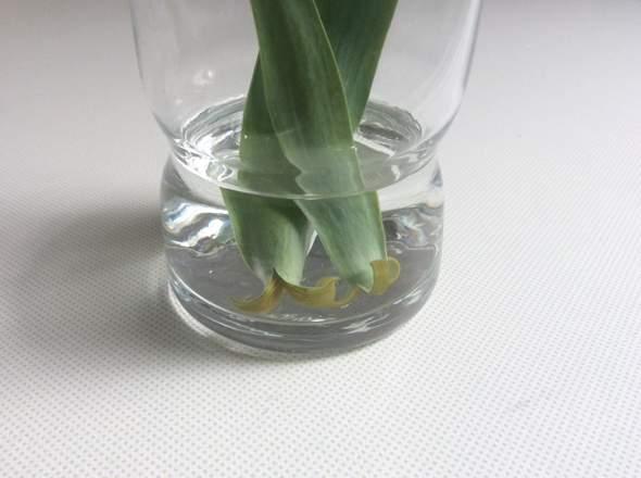 Warum machen die Tulpen das?