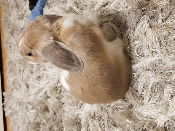 Warum reisst sich mein kaninchen das fell aus?