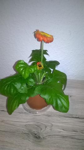 warum rollen sich die bl tter meiner gerbera pflanzen pflanzenpflege zimmerpflanzen. Black Bedroom Furniture Sets. Home Design Ideas