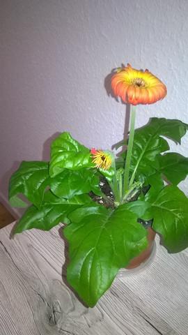 Blätter rollen sich ein - (Pflanzen, Pflanzenpflege, Zimmerpflanzen)