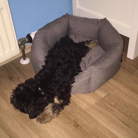 So schläft er😄  Manchmal ist auch NUR sein kleiner Hintern im Bettchen😄  - (Hund, schlafen, Welpen)