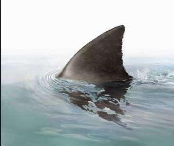 Warum schwimmen Haie so dicht unter der Wasseroberfläche, dass man die verräterische Flosse sieht? Sind die so dumm?
