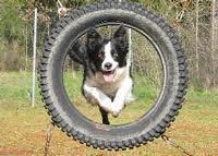 Agility - (Hund, agility, Diensthund)