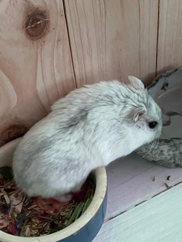 Warum sieht das Fell meines Hamsters so fettig aus?