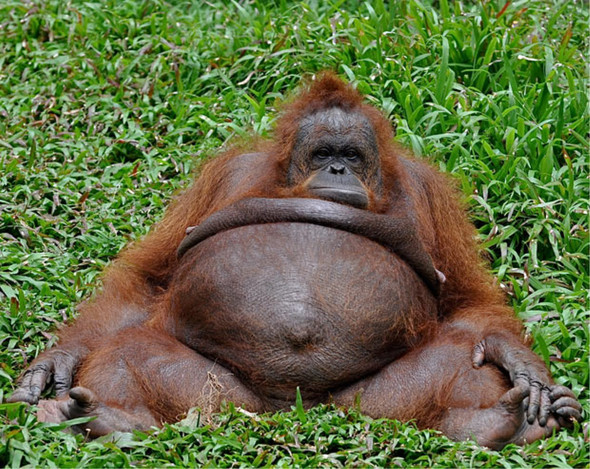 fett - (Tiere, Affen)