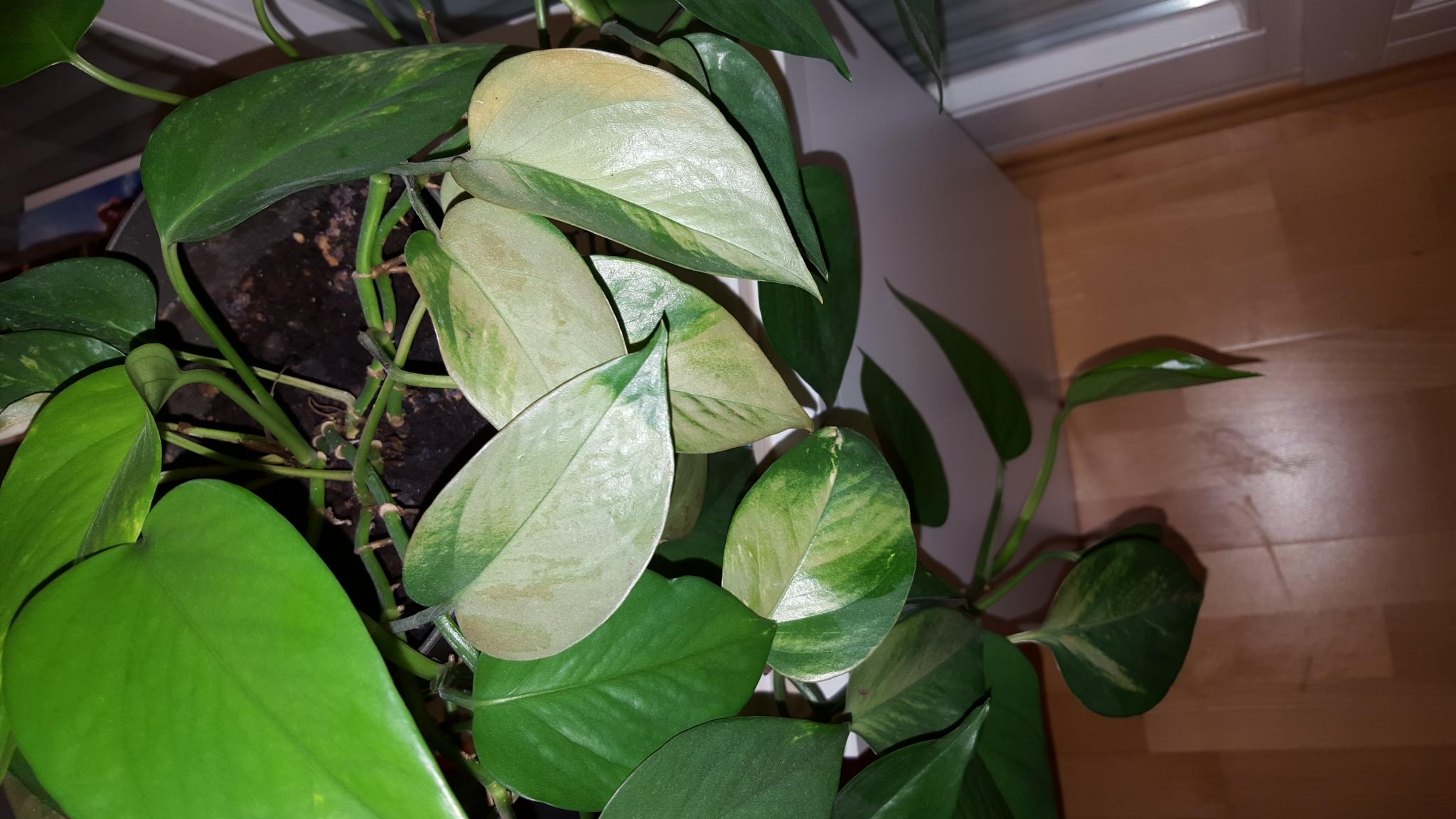 warum sind die bl tter meiner pflanze so verf rbt pflanzen zimmerpflanzen. Black Bedroom Furniture Sets. Home Design Ideas