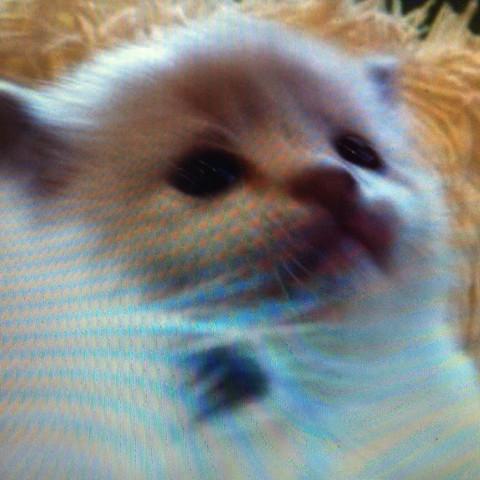 Ragdoll kitten warum sooo teuer??? - (Preis, lohnen, Ragdoll)
