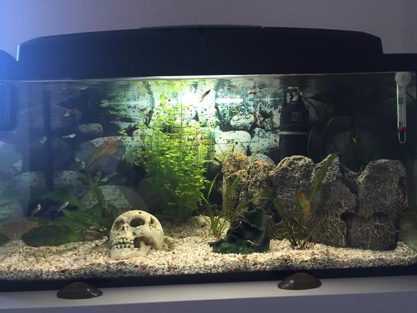 60lieter  - (Fische, guppy)